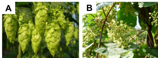 Female and male hop plants
