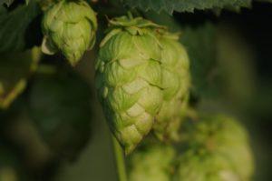 El Dorado hop cone on the vine