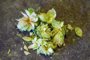 El Dorado hop cones broken open to reveal lupulin glands