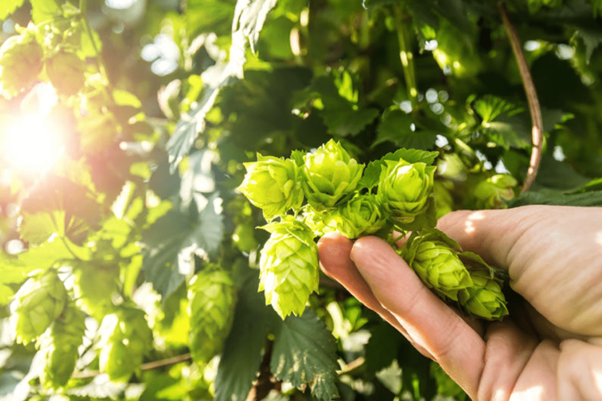 Considerations for hopping West Coast & New England IPA's