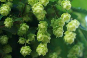 hop flowers